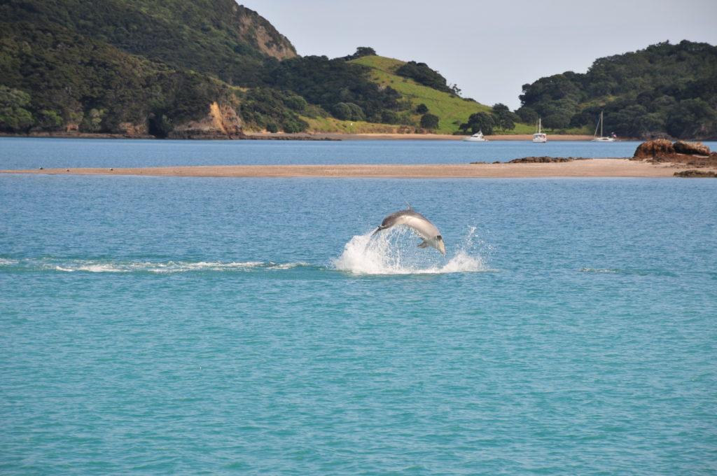 Spielender Delfin in der Bay of Island