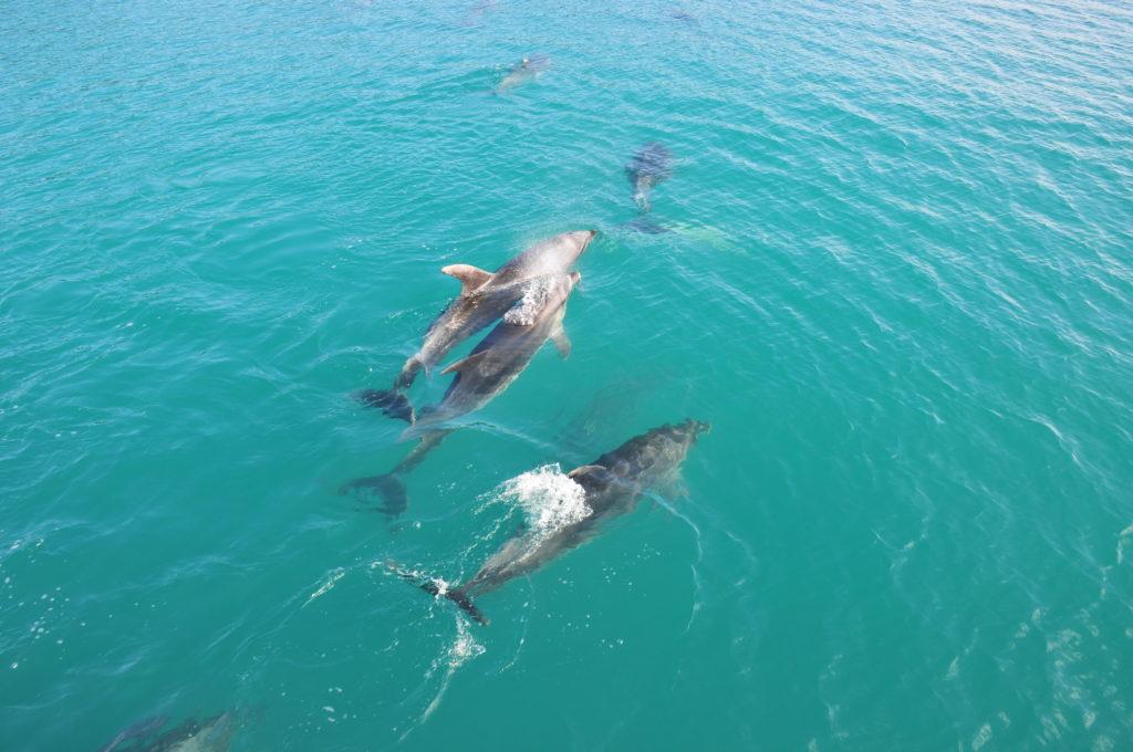 Delfine in der Bay of Islands